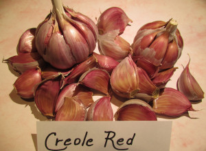 Ail Creole Red CREOLE